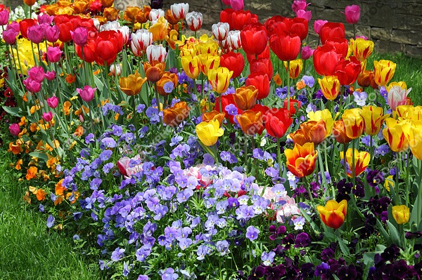 Pictures from bulgaria spring flowers tulips spring flowers tulips pictures from bulgaria mightylinksfo